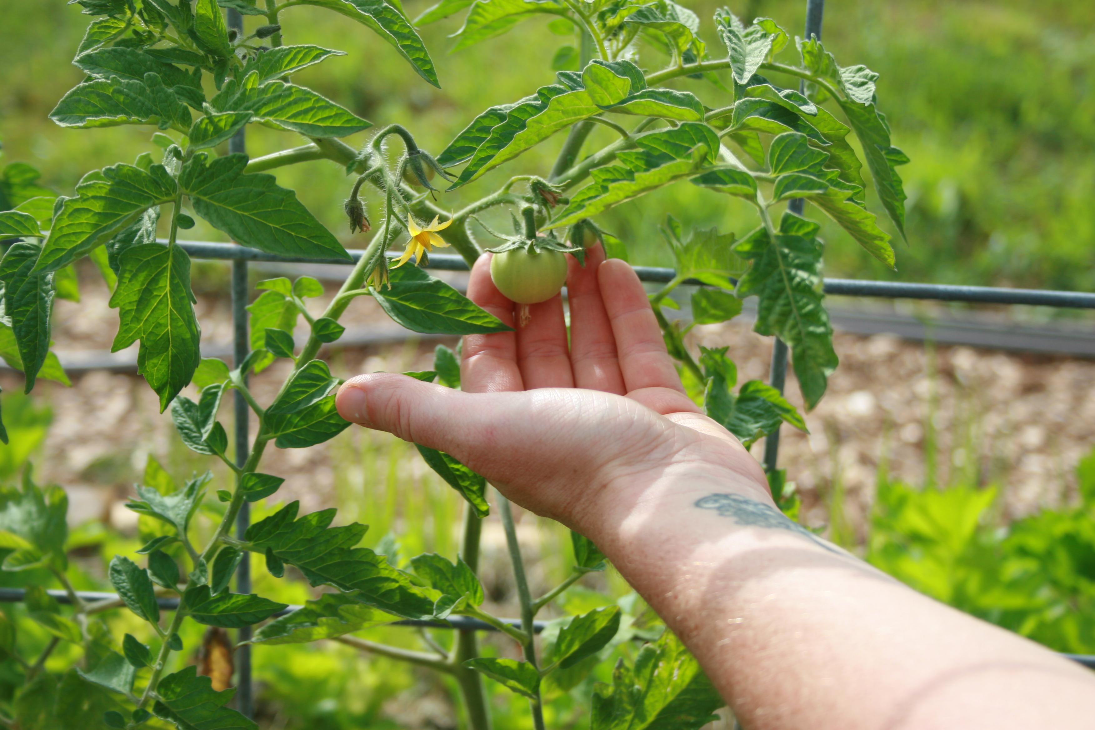 Hand on cherry tomato